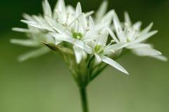 Groupe de fond trouble herbacé de fleurs et de feuilles d'ursinum blanc d'allium en herbe de forêt de charme belle et saine, photographie stock libre de droits