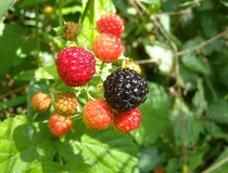 Groupe de framboises sauvages Image stock