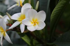 Groupe de Frangipani blanc et rose jaune de fleurs Images stock