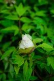 Groupe de Frangipani rose d'isolement sur le blanc Photos stock