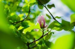 Groupe de Frangipani rose sur le blanc Photo stock