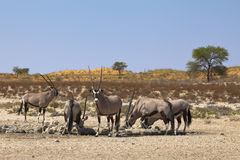 Groupe de Gemsbok à un point d'eau Image libre de droits