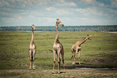 Groupe de girafes Image libre de droits