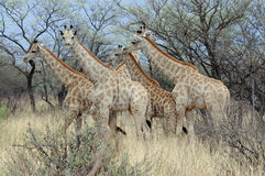 Groupe de girafes en Namibie Image libre de droits