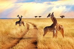 Groupe de girafes près de la route en parc national de Serengeti Fond de coucher du soleil photo stock
