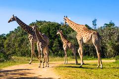 Groupe de girafes sur un safari Photo stock