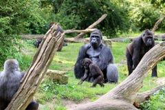 Groupe de gorille image stock