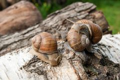 Groupe de grande hélice d'escargots de Bourgogne, escargot romain, escargot comestible, Photographie stock libre de droits