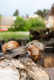 Groupe de grande hélice d'escargots de Bourgogne, escargot romain, escargot comestible, Photo libre de droits
