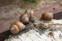 Groupe de grande hélice d'escargots de Bourgogne, escargot romain, escargot comestible, Image libre de droits