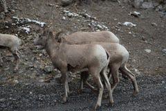 Groupe de grands moutons 3 de klaxon Image libre de droits