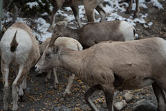 Groupe de grands moutons 4 de klaxon Photo stock