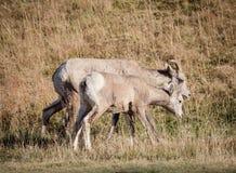 Groupe de grands moutons de klaxon Photo stock