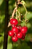 Groupe de groseille rouge Photographie stock libre de droits