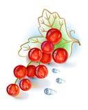 Groupe de groseille rouge avec des baisses de feuille et de rosée Image libre de droits