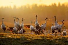 Groupe de grues au lever de soleil dans la lumière de matin Photographie stock libre de droits