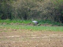 groupe de grues recherchant la nourriture sur un champ labour? photos stock