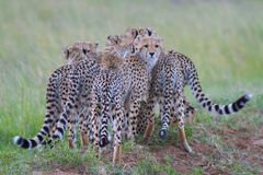 Groupe de guépards Images libres de droits