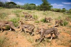 Groupe de guépards recherchant la nourriture Image libre de droits