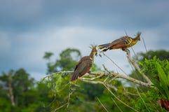 Groupe de hoatzins, hoazin d'episthocomus, oiseau endémique se reposant sur une branche à l'intérieur de la forêt tropicale d'Ama Image libre de droits