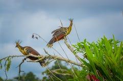 Groupe de hoatzins, hoazin d'episthocomus, oiseau endémique se reposant sur une branche à l'intérieur de la forêt tropicale d'Ama Images libres de droits