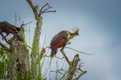 Groupe de hoatzins, hoazin d'episthocomus, oiseau endémique se reposant sur une branche à l'intérieur de la forêt tropicale d'Ama Photographie stock