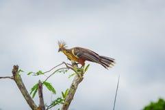 Groupe de hoatzins, hoazin d'episthocomus, oiseau endémique se reposant sur une branche à l'intérieur de la forêt tropicale d'Ama Photos libres de droits