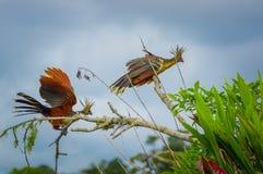Groupe de hoatzins, hoazin d'episthocomus, oiseau endémique se reposant sur une branche à l'intérieur de la forêt tropicale d'Ama Photos stock