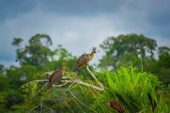 Groupe de hoatzins, hoazin d'episthocomus, oiseau endémique se reposant sur une branche à l'intérieur de la forêt tropicale d'Ama Images stock