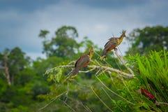 Groupe de hoatzins, hoazin d'episthocomus, oiseau endémique se reposant sur une branche à l'intérieur de la forêt tropicale d'Ama Photographie stock libre de droits