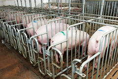 Groupe de jeune alimenter de porc Images stock