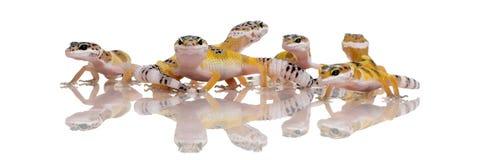 Groupe de jeune gecko de léopard - Eublepharis maculaire photos stock
