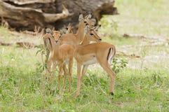 Groupe de jeune impala dans Tarangire image libre de droits