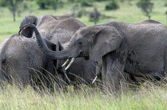 Groupe de jeunes éléphants jouant avec de l'eau photographie stock libre de droits