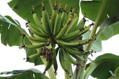 Groupe de jeunes bananes vertes Photographie stock