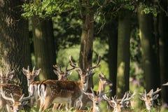 Groupe de jeunes mâles de dama de dama de cerfs communs affrichés dans le landsc de campagne Photos libres de droits