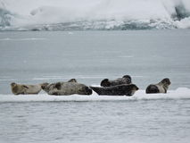 Groupe de joints sur l'iceberg, Islande Photo libre de droits