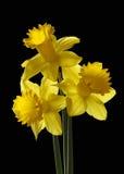 Groupe de jonquilles jaunes Photo libre de droits