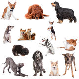 Groupe de jouer des chiens sur le blanc Photographie stock