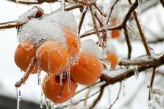 Groupe de kakis sur l'arbre en hiver couvert de la glace Photo libre de droits