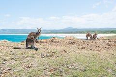Groupe de kangourou chez Coffs Harbour, NSW, Australie Image libre de droits
