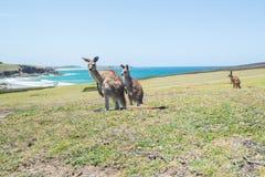 Groupe de kangourou sur au champ et au fond Coffs Harbour de mer photos stock