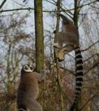 Groupe de lémur coupé la queue par anneau Images libres de droits