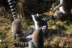 Groupe de lémur coupé la queue par anneau Image stock