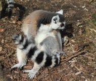 Groupe de lémur coupé la queue par anneau Photographie stock libre de droits