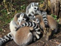 Groupe de lémur coupé la queue par anneau Photographie stock