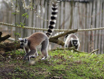 Groupe de lémur coupé la queue par anneau dans le zoo Photos stock