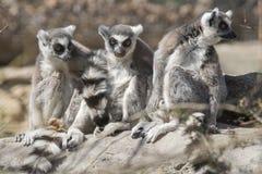 Groupe de lémurs anneau-coupés la queue par jeunes Photo stock