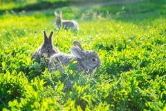 Groupe de lapins gris explorant l'herbe ensoleillée image libre de droits