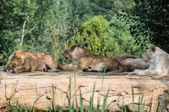 Groupe de lions Photo stock